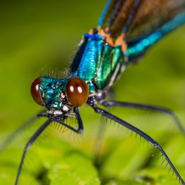 Calopteryx (virgo ?) (mâle)