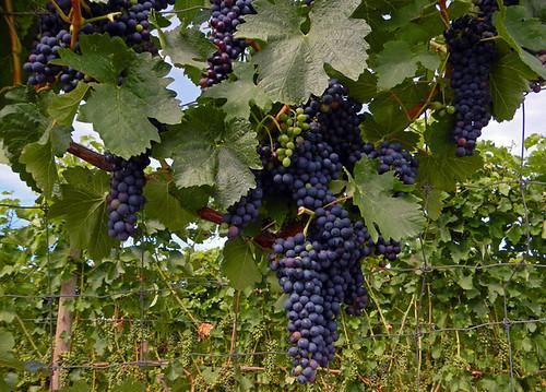purple grapes on the vine in Naramata