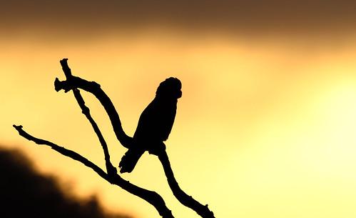 galah sunrise eulophosroseicappillus toowoomba prestonpeak ecoridgehideaway crittercanon