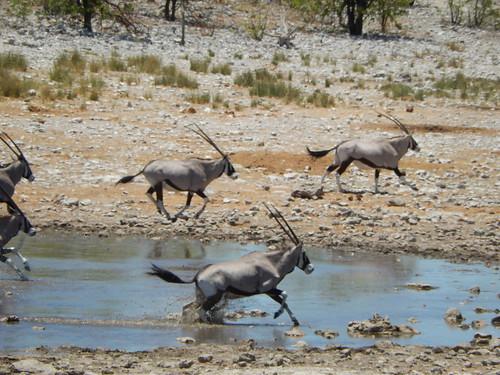 Etosha NP - gemsbokken rennen
