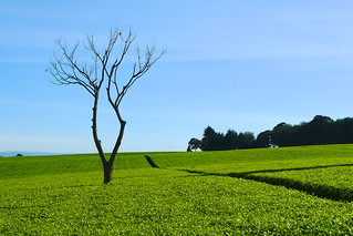 Tea Plantations | by cnener