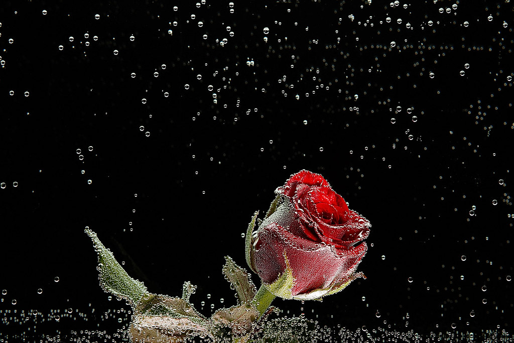 Red Rose In Dew Drops On A Black Background Red Rose In De Flickr