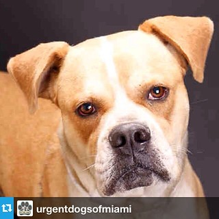#Repost from @urgentdogsofmiami  ---  CODE RED FOR MAX #A1420425  We cannot believe that Max has been at #MDAS since 3/07/14! That is over 2 months!! He is obviously a shelter favorite and staff have been doing their best to keep this special boy alive, H