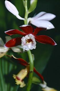 Orchid (Phaius callosus)