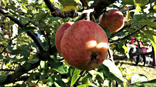Apple day 2016-apple2 | by grow_bradford