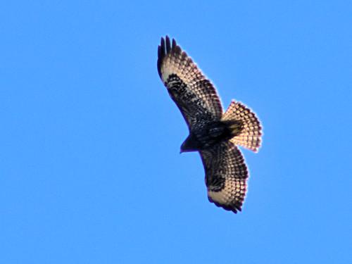 Short-tailed Hawk in flight HDR 01-20161121