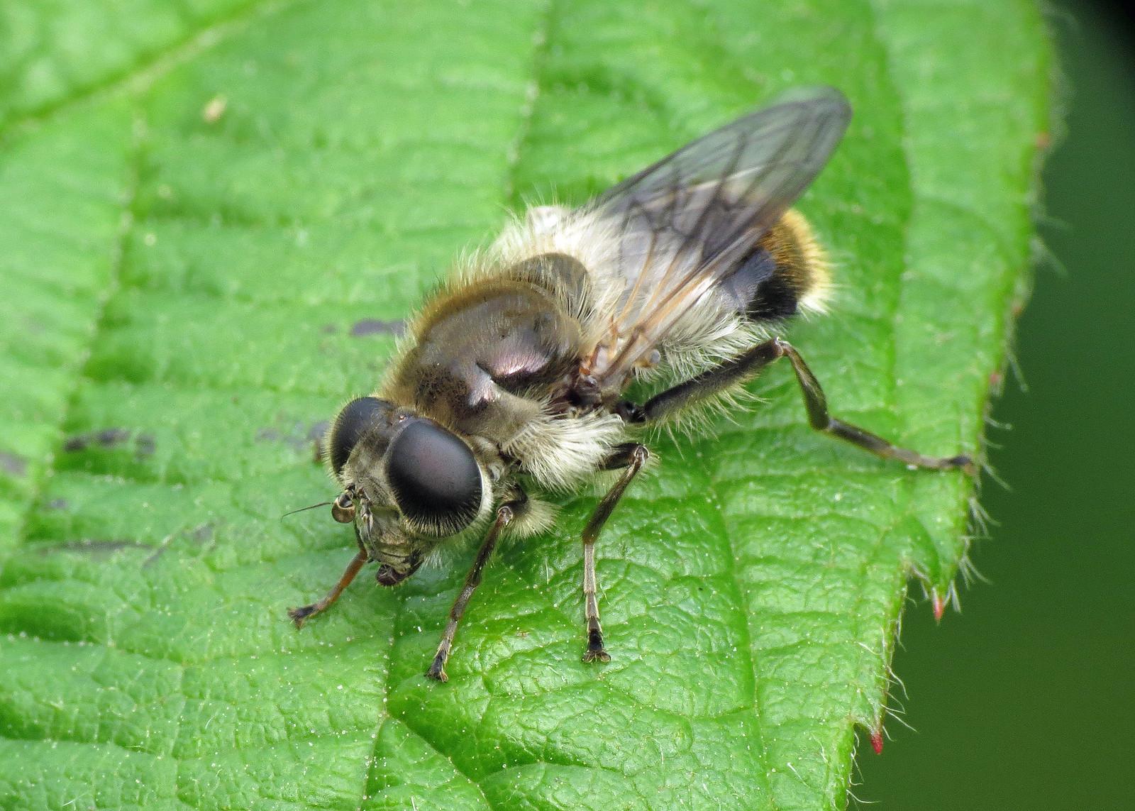 Hoverfly - Chelosia illustrata