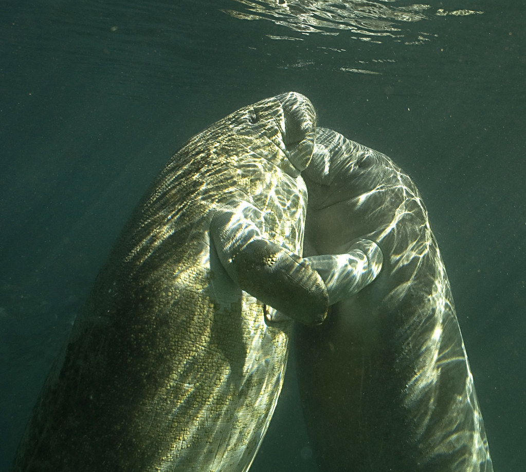 Manatees Dying in Droves on Both Coasts of Florida | WIRED |Manatees Playing