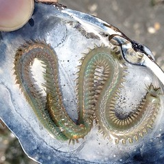 Low tide, found this crazy millipede-worm-tremor-creature floating down a freshwater feed into the Sound.