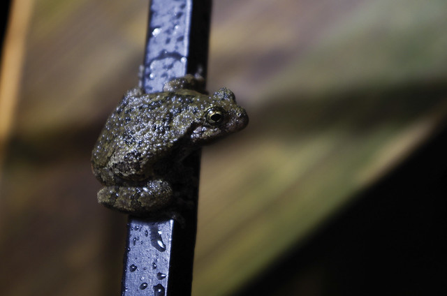 Night Toad