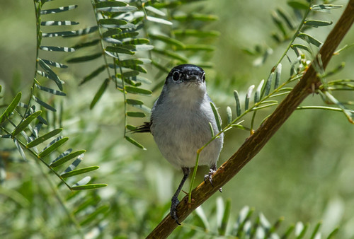 Black-tailed Gnatcatcher | by Laura Erickson