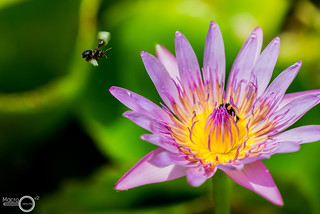 Water lily and bees | by PF T.J.