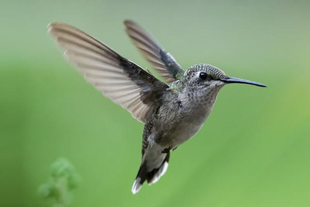 Hummingbird in Flight_DSC0849