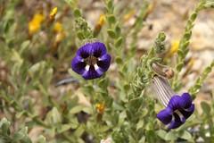 Peliostomum virgatum