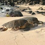 A pair of turtles, Oahu
