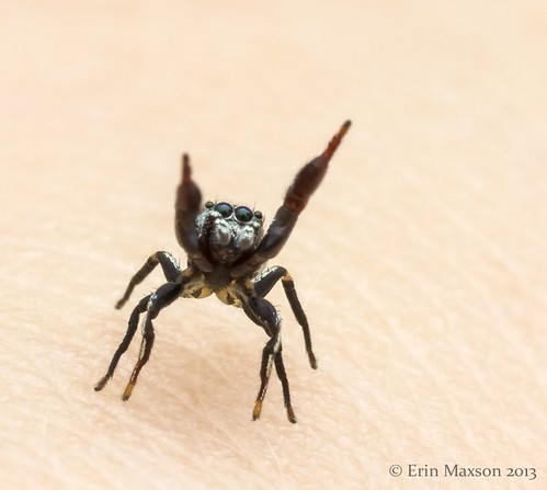 Belize ant-mimic jumping spider