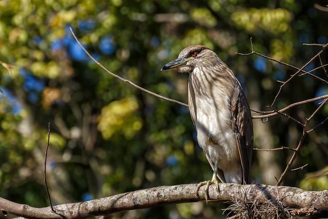 Black-crowned Night-Heron (Imm) | Guaco (Juv)  (Nycticorax nycticorax hoactli)