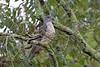 African Cuckoo-Hawk, Sakania, DRC by Terathopius