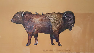 Bison Cow, Hoodoo Ranch, Wyoming, James Prosek