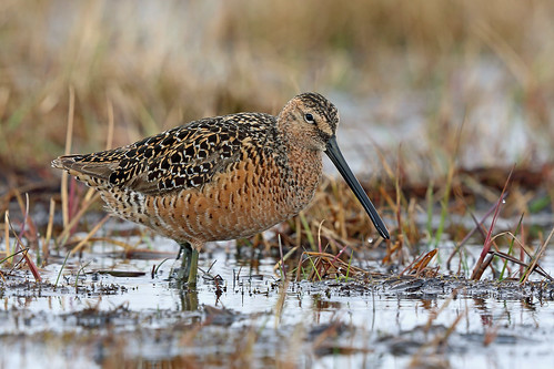 Long-billed Dowitcher, Barrow, North Slope, Alaska | by Terathopius