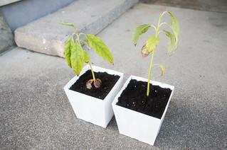plant - アボカド | by icoro.photos