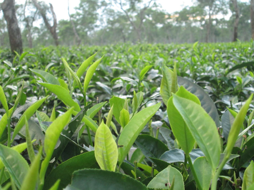 Assam Tea Garden, Close-up of tea leaves | Bidyut Gogoi | Flickr