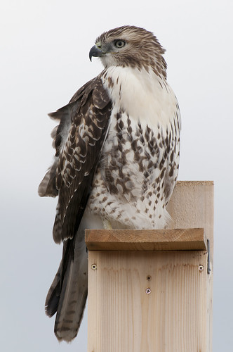 Juvenile Red-tailed Hawk on Flicker Nestbox 6 | by Darin Ziegler