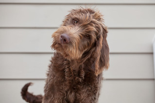 Dillon (labradoodle), Thanksgiving 2013 | by motleypixel