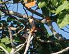 Orange-breasted Falcon by hogsas