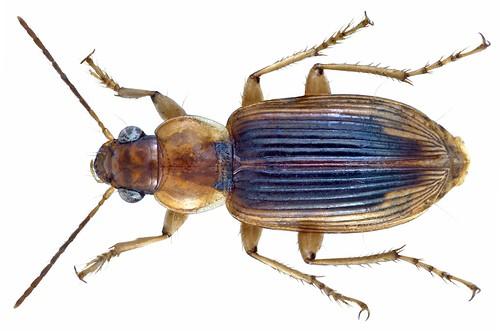 Loxoncus alacer (Dejean, 1831) | by urjsa