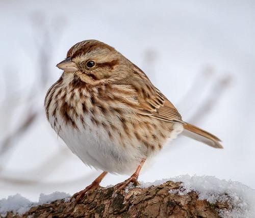 home birds us pennsylvania content places sparrow folder takenby 2014 songsparrow peterscamera petersphotos canon7d 20140126homebirds