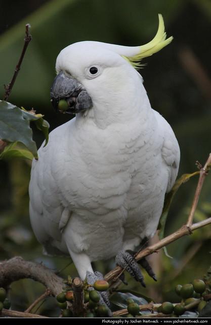 Sulphur-crested Cockatoo, Royal Botanic Gardens, Sydney, Australia