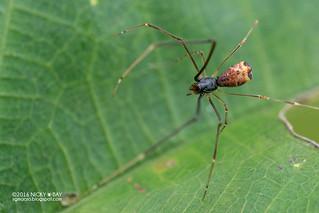 Comb-footed spider (Argyrodes sp.) - DSC_5505