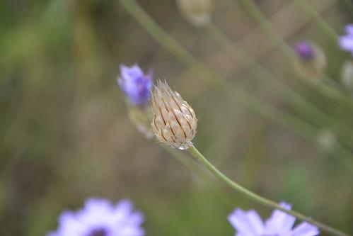 Catananche caerulea - catananche bleue  9206465429_f76781280b