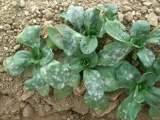 Mildewed corn-salad (lamb's lettuce, Valerianella locusta)   by Plant pests and diseases