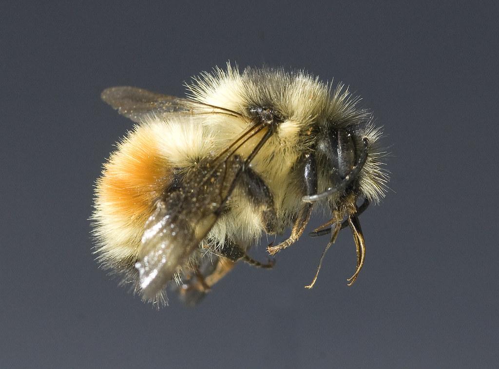 Native bee Bombus melanopygus