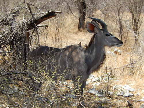 Etosha NP - kudu