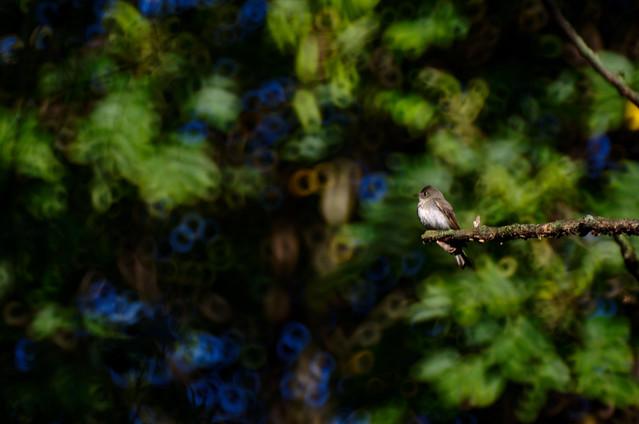 Olive-sided Flycatcher I