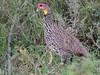 Yellow-Necked Spurfowl by Makgobokgobo