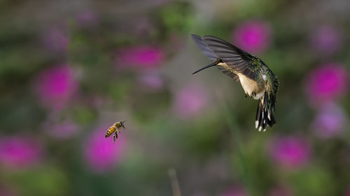 Hummingbird and Honey Bee Face to Face_DSC8912