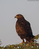 Greater Spotted Eagle #37 by SrikanthRajan
