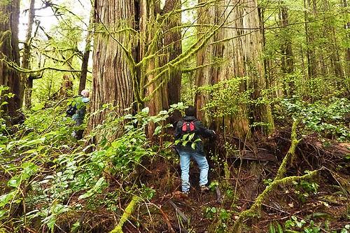 Avatar Grove, Port Renfrew, South Vancouver Island, British Columbia, Canada