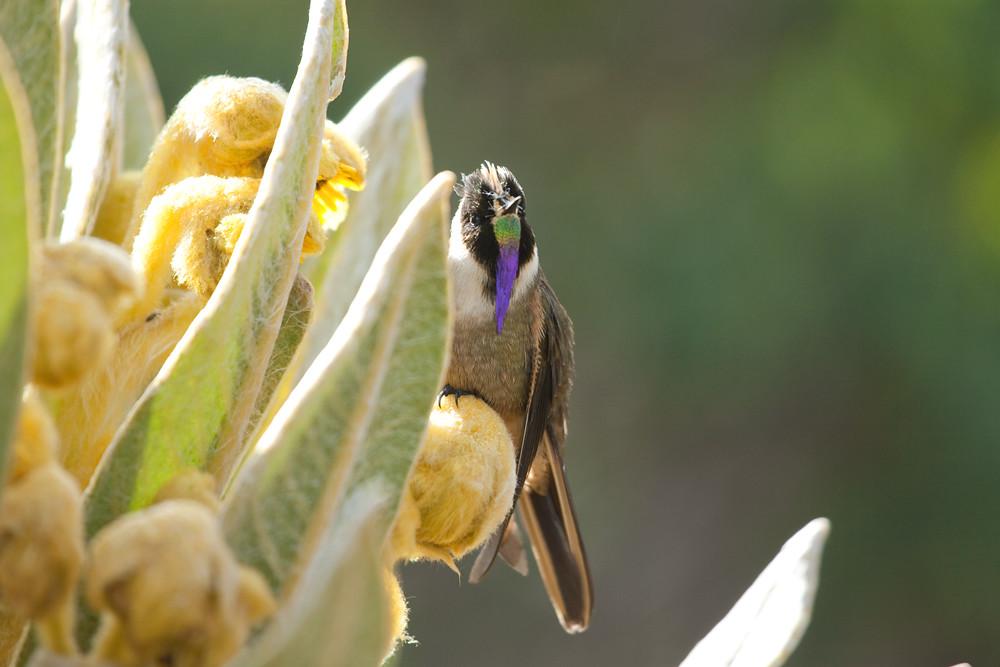 Bearded Helmetcrest (Oxypogon guerinii)