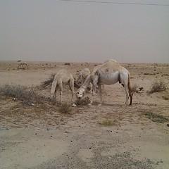 تفاءلوا: سنعيدها كما كانت.. صحراء مقفرة!