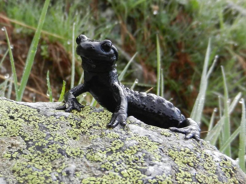 Alpine Salamander. A rare sighting at over 2000m after overnight rain