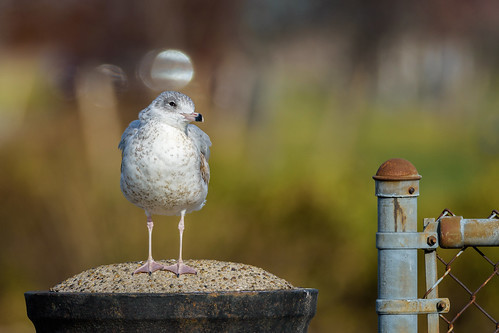 bird bokeh wildlife gull thinker nature philadelphia pennsylvania unitedstates us fence post nikon d7200 hff friday seagull fencefriday