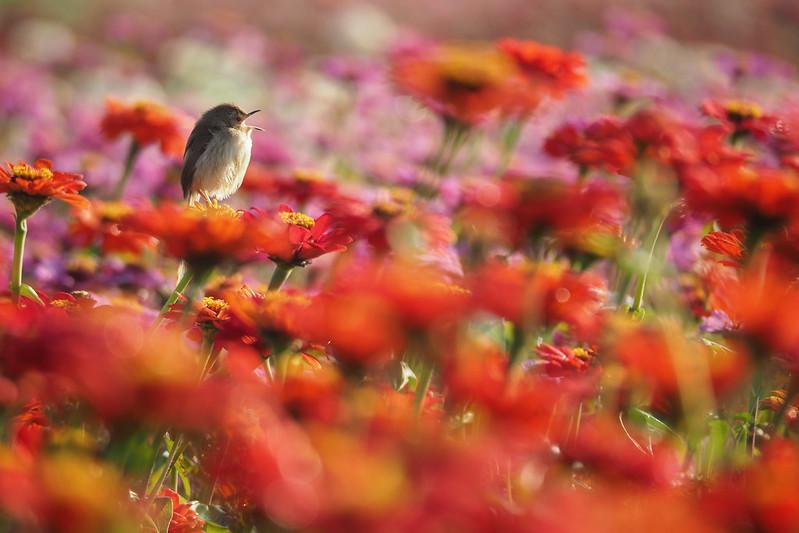 褐頭鷦鶯|Prinia subflava