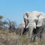 Etosha NP - olifant heel dichtbij 1
