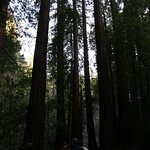 Walking among the redwoods