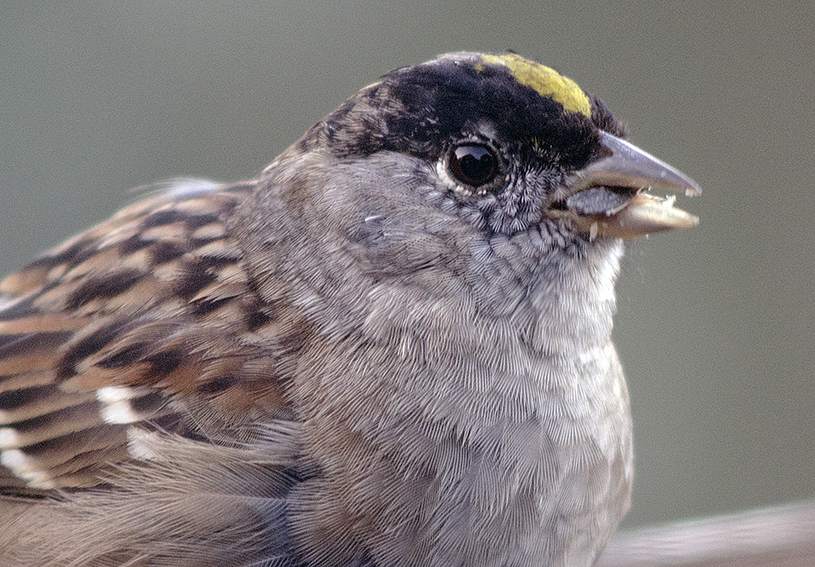 Golden-crowned sparrow, up close and personal